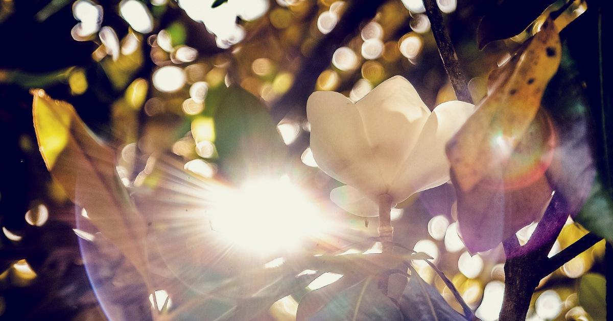 Albero di magnolia prima di essere potato, un po' come noi esseri umani prima di fare spazio e togliere rami secchi o rigogliosi che però ci creano difficoltà nel crescere.